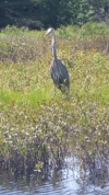 Blue Heron at Whisperwood
