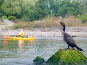 Cormorant and kayak
