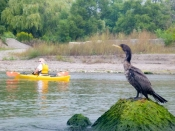 Cormorant and kayak