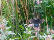 Swallowtail at Point Pelee