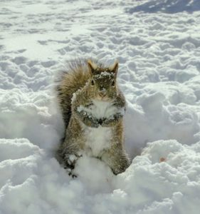 Nuts? Squirrel in the snow