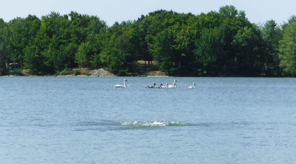 Swans on Dog Lake