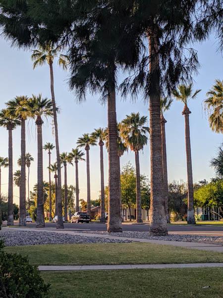 Phoenix Palm Trees