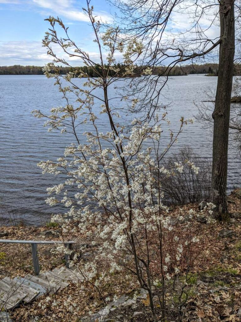 Trees in blossom - Serviceberry